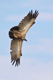 Whitebacked Vulture Royalty Free Stock Image