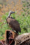 Whitebacked Vulture Stock Images