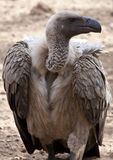 Whitebacked Vulture. A Whitebacked Vulture (Gyps africanus) in North Eastern Zimbabwe Royalty Free Stock Image