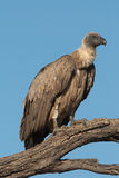 Whitebacked vulture. Large carrion-eating bird, commonly found devouring carcasses Royalty Free Stock Image