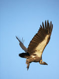 Whitebacked Vulture. Whitebacket Vulture fly in blue sky Royalty Free Stock Photography