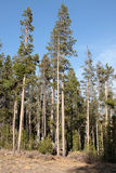 Whitebark Pine (Pinus albicaulis) Stock Photos