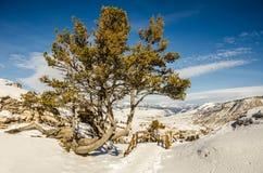Whitebark pine (Pinus albicaulis) Royalty Free Stock Photo