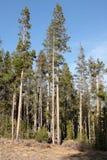 Whitebarkpijnboom (Pinus albicaulis) Stock Foto's