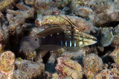 Whitebarred Goby stockfotos