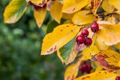 Whitebeam το φθινόπωρο Στοκ φωτογραφία με δικαίωμα ελεύθερης χρήσης