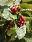 Whitebeam-Früchte Stockbild