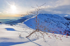 Whitebeam tree (Sorbus aria) in a snowy mountain landscape. Stock Photo
