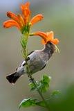 Whitebellied Sunbird Stockfotos