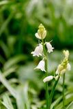 Whitebells在5月在英国在春天在一温暖的天 图库摄影