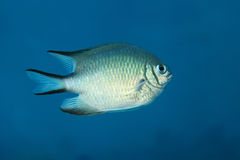 Whitebelly damsel fish. Amblyglyphidodon leucogaster underwater in the Red Sea Royalty Free Stock Photos