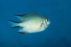 Whitebelly damsel fish Royalty Free Stock Photos