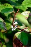 Whiteberry en las hojas verdes fotografía de archivo libre de regalías