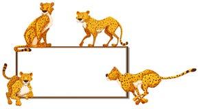 Whiteboard and many cheetahs Stock Image