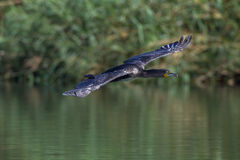 Whitebreasted-Cormorant Bird Flying Waters royalty free stock image