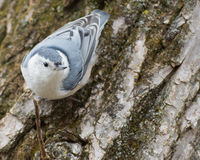Whitebreasted Nuthatch Perched Stock Images