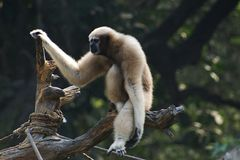 whitebrowed gibbonhoolock royaltyfri foto