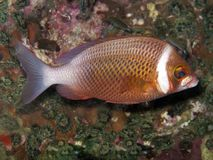 Free Whitecheek Monocle Bream - Scolopsis Vosmeri Stock Image - 20063391