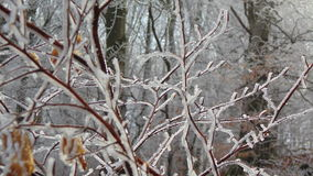 Whitecoat ветви стоковая фотография