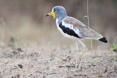 Whitecrowned brockfågel royaltyfria foton