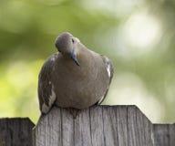 Whited s'est envolé la colombe se reposant sur la barrière Photos libres de droits