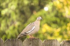 Whited s'est envolé la colombe se reposant sur la barrière Images libres de droits