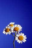 WhiteDaisy Bunch. Group of white daisies and blue sky Stock Images