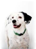 Whitedog Stock Photos