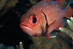 Whiteedged soldierfish Stock Photography
