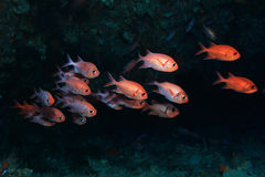 Whiteedged soldierfish. (Myripristis murdjan) underwater in the coral reef Stock Image