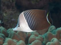 Whiteface butterflyfish Royalty-vrije Stock Foto's