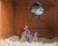 Whiteface cockatiel entering the nest with chicks Stock Image