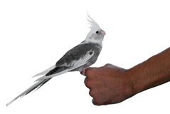 Whiteface cockatiel pet profile Stock Photos