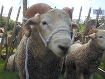 Whiteface Dartmoor ram Stock Photo