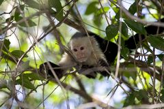 Whiteface Monkey. A whiteface monkey in Costa Rica Stock Photos