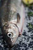 Whitefish. Fresh Whitefish. Shallow Depth of Field. Selective Focus Stock Photo