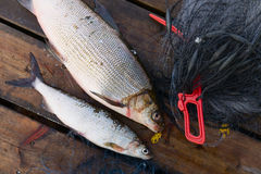 Whitefishes Royalty Free Stock Photo