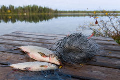 Free Whitefishes And Dock Royalty Free Stock Photography - 23794007