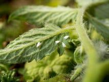 Whiteflies som suger på ett tomatblad Arkivbilder