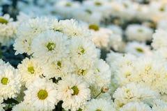 Whiteflowers del crisantemo en el jardín Imagen de archivo