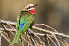 Whitefronted bee-eater. Colorful insectivore catching prey in flight.  Common. Forehead and throat white, lower throat red.  Wings green Stock Images