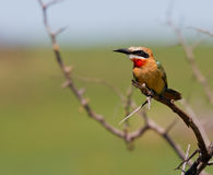 Whitefronted Bee eater Stock Image