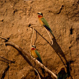 Whitefronted Bee-eater Stock Photo