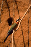Whitefronted Bee-eater Royalty Free Stock Photos