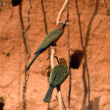 Whitefronted Bee-eater Royalty Free Stock Photography