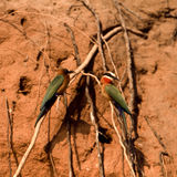 Whitefronted Bee-eater Stock Photos