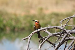 Whitefronted bee eater bird Royalty Free Stock Photos