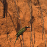Whitefronted Bee-eater Royalty Free Stock Images