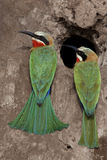 Whitefronted Bee Eaters - Botswana royalty free stock photo