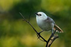 Whitehead - Mohoua albicilla - popokatea small bird from New Zealand, white head and grey body.  stock image